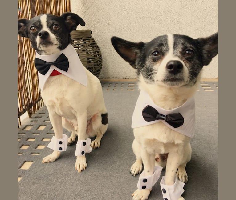 Photo of Burt, a Shih Tzu, Chihuahua, Pomeranian, Miniature Pinscher, and Mixed mix in Los Angeles, California, USA