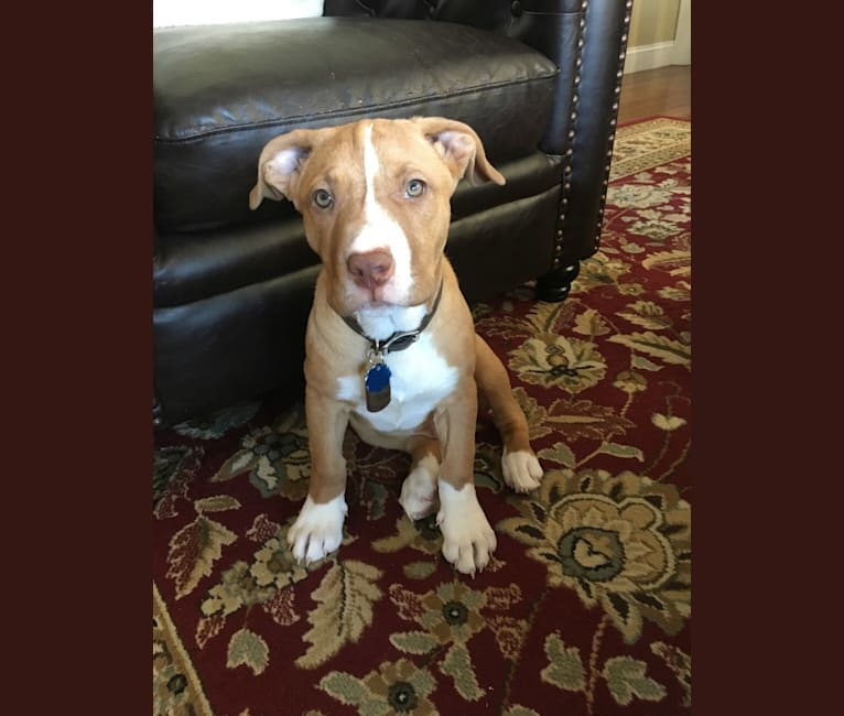 Photo of Leo, an American Pit Bull Terrier and Boxer mix in Connecticut, USA