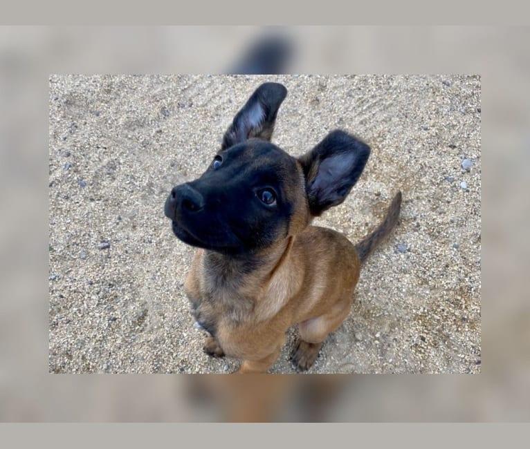 Photo of Max, a Belgian Malinois, Boxer, Bulldog, and Australian Shepherd mix in El Paso, Texas, USA