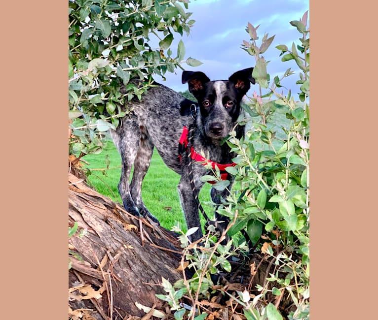 Photo of Weasley, an Australian Cattle Dog, German Shepherd Dog, Siberian Husky, and Golden Retriever mix in Oakland, California, USA