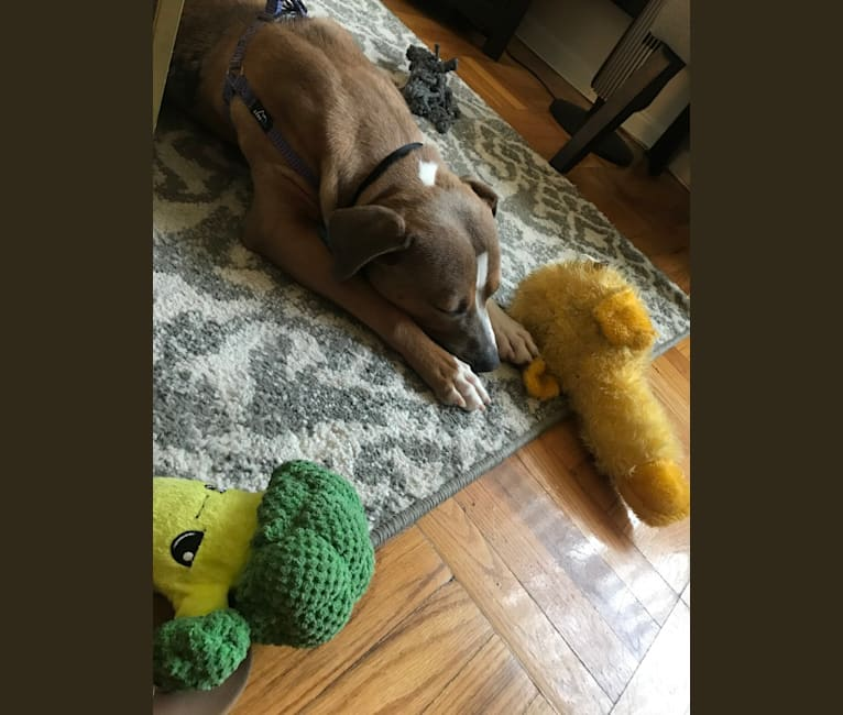 Photo of Morty, an American Pit Bull Terrier and American Staffordshire Terrier mix in Washington, District of Columbia, USA