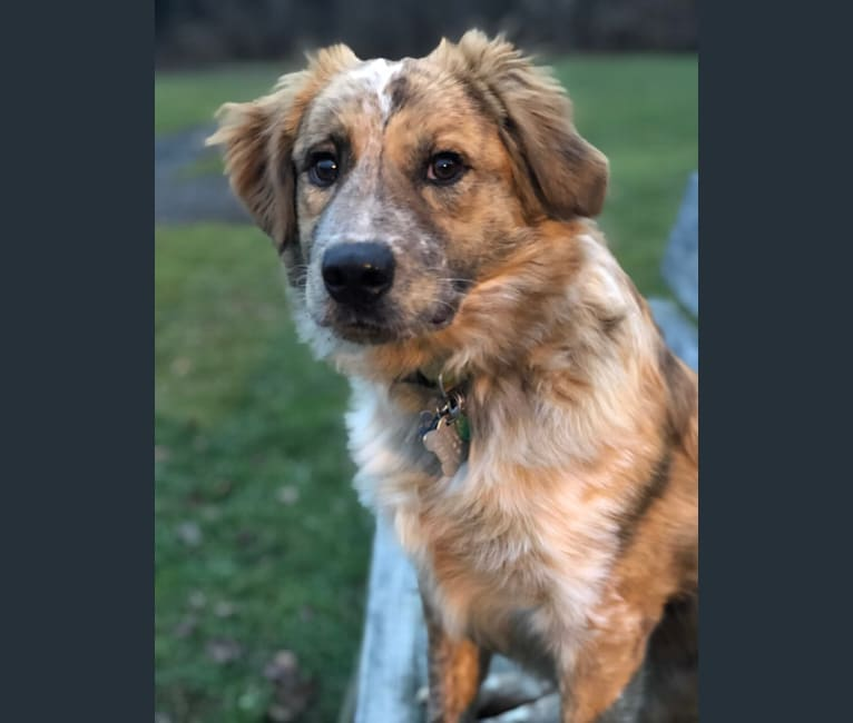 Photo of Myles Bolt, a Great Pyrenees, American Pit Bull Terrier, Chow Chow, and Australian Cattle Dog mix in Alabama, USA