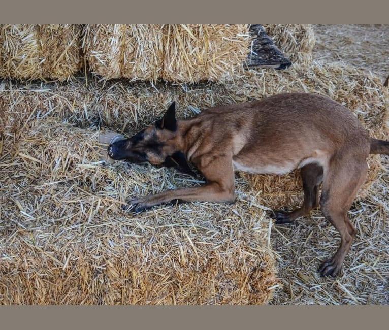 Photo of Mangle, a Dutch Shepherd  in Arizona, USA
