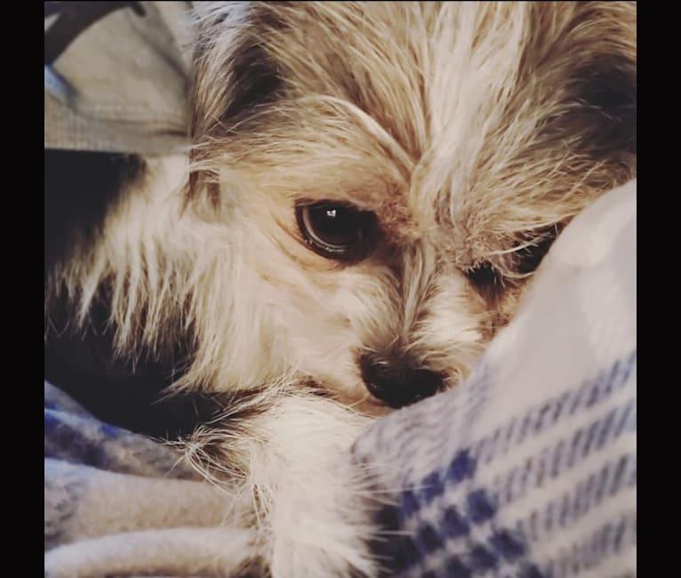 Photo of Scruffy, a Shih Tzu and Chihuahua mix in Texas, USA