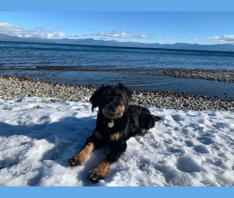 Photo of Bella, a Bouvier des Flandres, Bernese Mountain Dog, and Australian Shepherd mix in Spangle, WA, USA