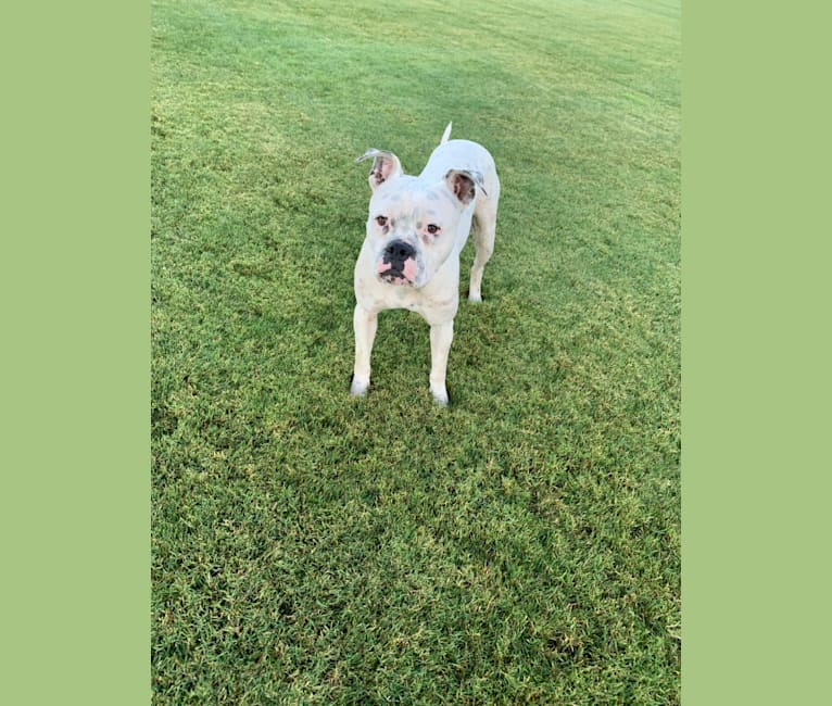 Photo of Delilah, an American Bulldog  in USA