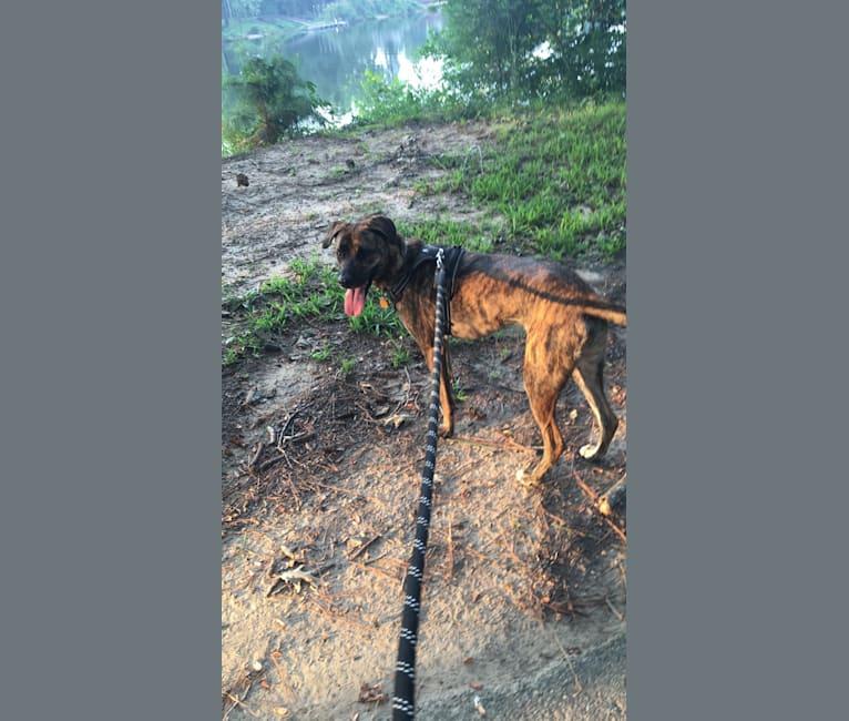 Photo of Drake, an American Pit Bull Terrier, Mastiff, German Shepherd Dog, and Boxer mix in Norwood, Massachusetts, USA