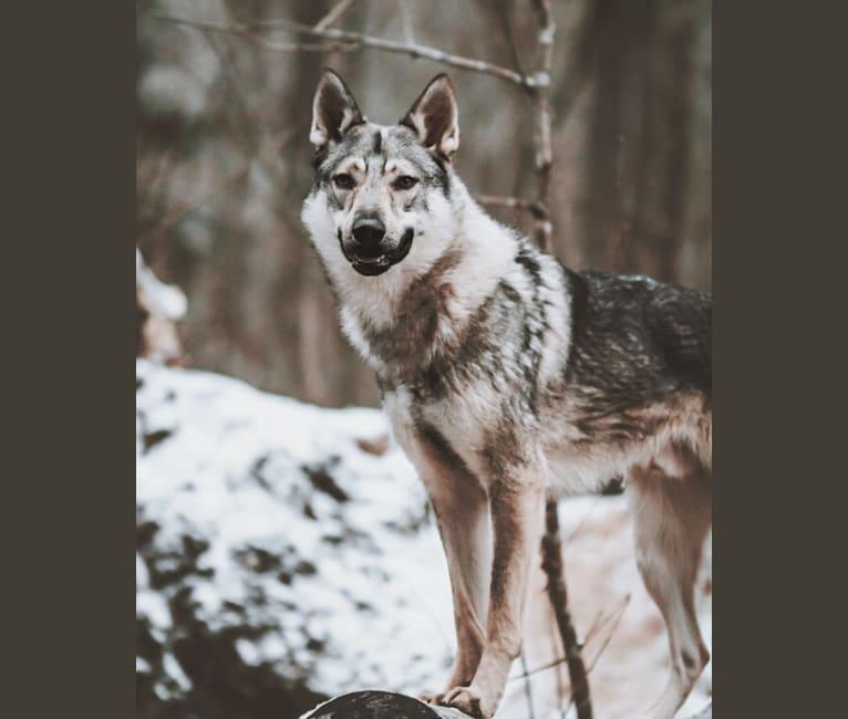 Photo of Olav, a Czechoslovakian Vlcak, German Shepherd Dog, and Samoyed mix in Finland