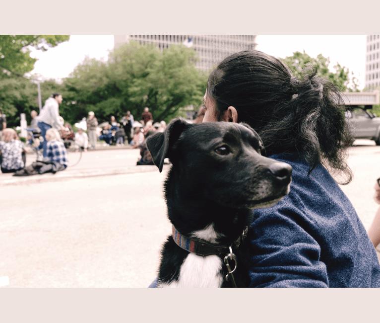 Photo of Killian, a Labrador Retriever, Miniature/MAS-type Australian Shepherd, Boston Terrier, Koolie, and Mixed mix in San Antonio, Texas, USA