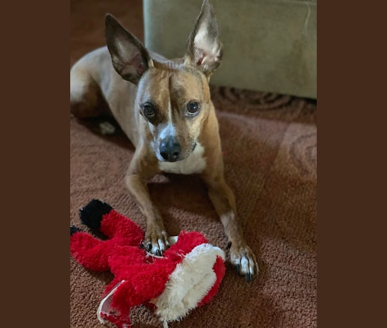 Photo of Axle, a Boston Terrier, Chihuahua, Beagle, and Mixed mix