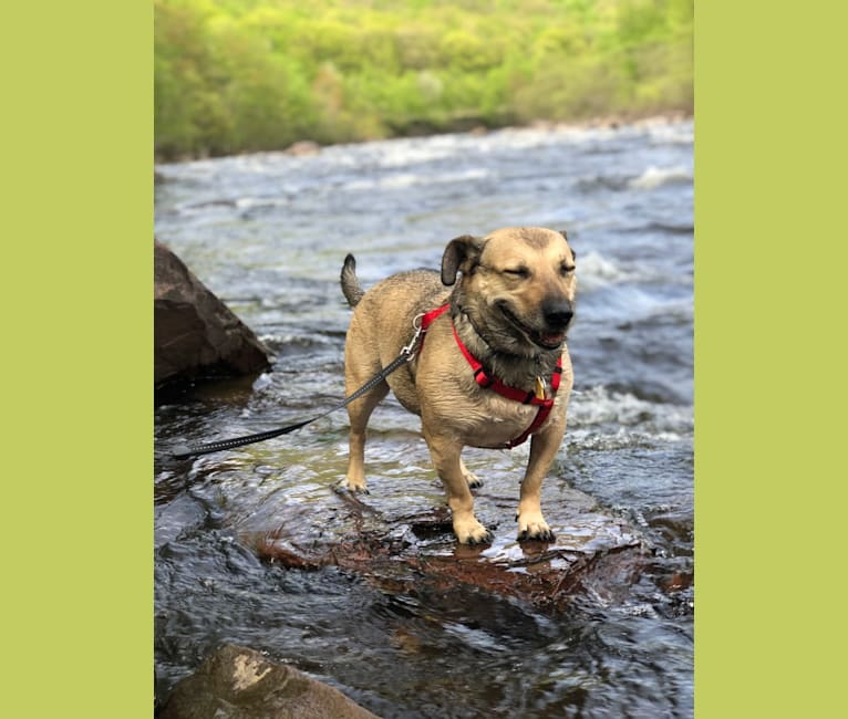 Photo of Lupin, a Chihuahua, Poodle (Small), Australian Cattle Dog, American Pit Bull Terrier, and Mixed mix in Phoenix, Arizona, USA
