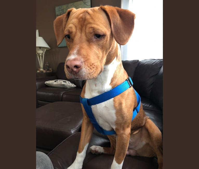 Photo of Ziggy, an American Pit Bull Terrier, Miniature Pinscher, and American Staffordshire Terrier mix in Florida, USA
