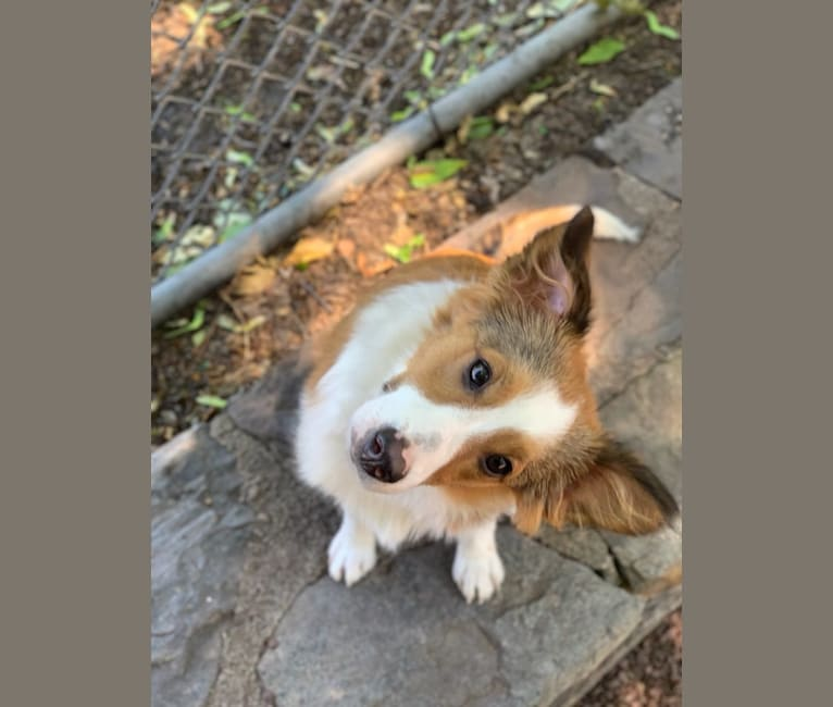 Photo of Rocket, a Shetland Sheepdog, Collie, Chihuahua, Yorkshire Terrier, Saint Bernard, and Mixed mix in Philadelphia, Pennsylvania, USA