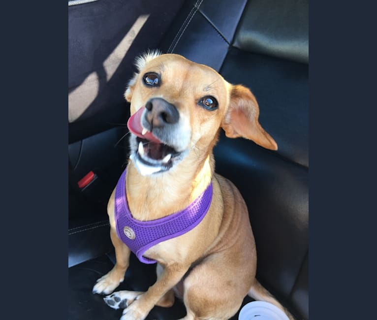 Photo of Brooklyn Liebman, a Chihuahua, Dachshund, Miniature Pinscher, and Poodle (Small) mix in Oakland, California, USA
