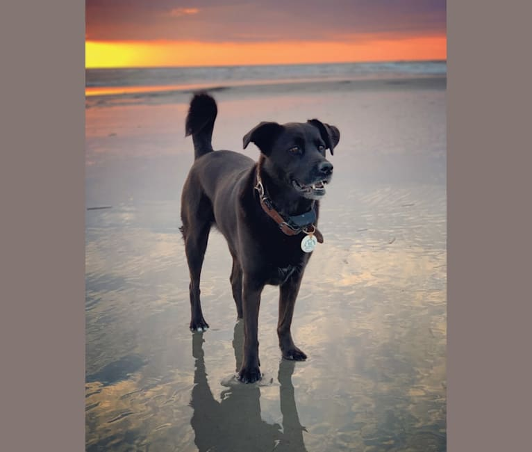Photo of Pepper, a Chow Chow, Cocker Spaniel, Beagle, Labrador Retriever, Redbone Coonhound, and German Shepherd Dog mix in PETSinc, Orchard Drive, West Columbia, SC, USA
