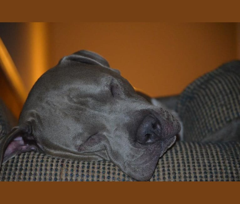 Photo of Niko, an American Pit Bull Terrier, American Staffordshire Terrier, and Boxer mix in North Carolina, USA