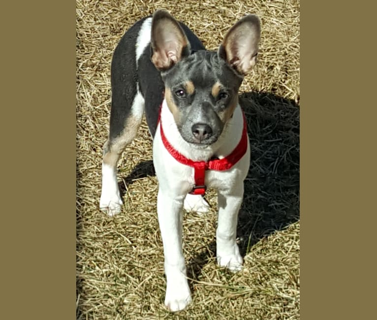 Photo of Takodah the Tornado, a Rat Terrier  in Wisconsin, USA