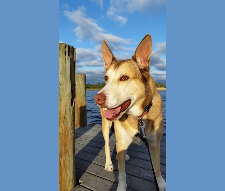Photo of Zeus, a Siberian Husky, American Pit Bull Terrier, and Basset Hound mix in Freeport, Florida, USA