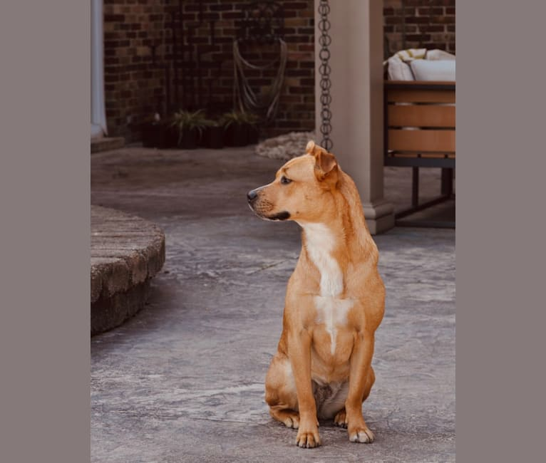 Photo of Molly, an American Pit Bull Terrier, American Staffordshire Terrier, and Mixed mix in Clayton, North Carolina, USA
