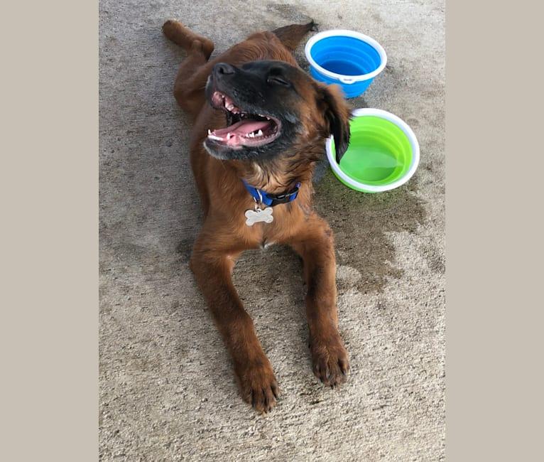 Photo of Jax, a French Bulldog, American Pit Bull Terrier, Shih Tzu, German Shepherd Dog, and Chow Chow mix in Royal Palm Beach, Florida, USA