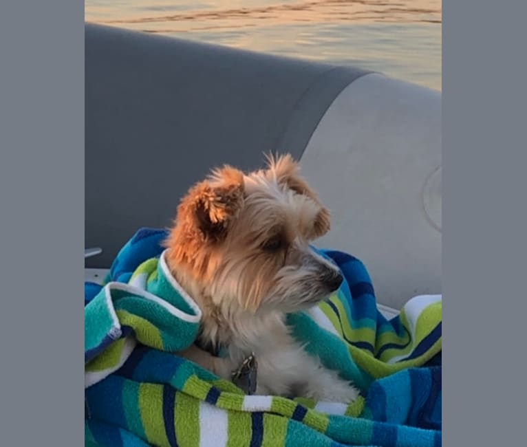 Photo of Milo, a Biewer Terrier, Yorkshire Terrier, and Maltese mix in Douglas, Michigan, USA