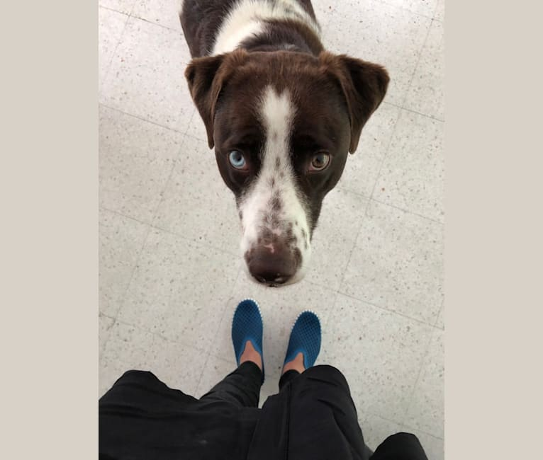 Photo of Banksy, a Labrador Retriever, American Pit Bull Terrier, Australian Cattle Dog, and Mixed mix in Oklahoma, USA