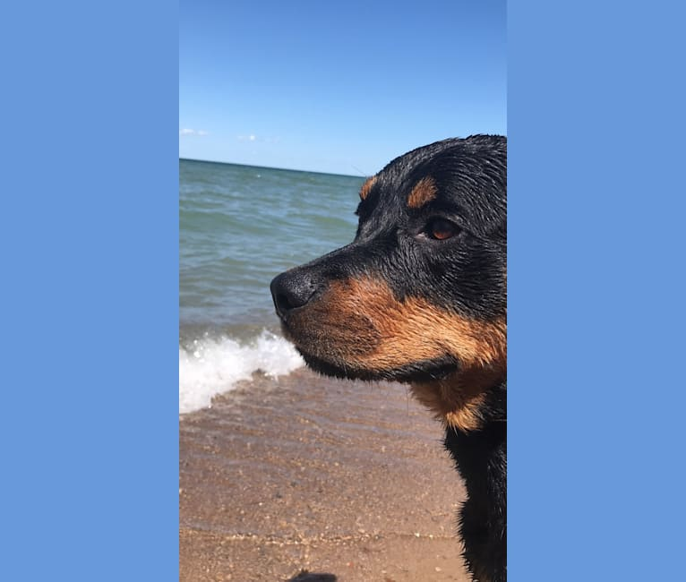 Photo of Diesel, a Rottweiler mix in Woodbridge, Vaughan, ON, Canada