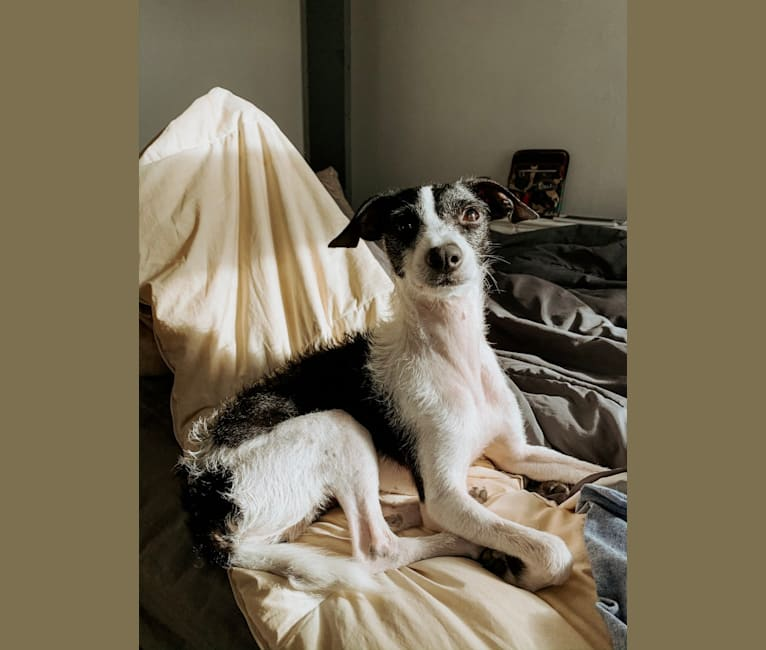 Photo of Badger, a Miniature Schnauzer, Chihuahua, Dachshund, Russell-type Terrier, and Mixed mix in Carlisle, Pennsylvania, USA