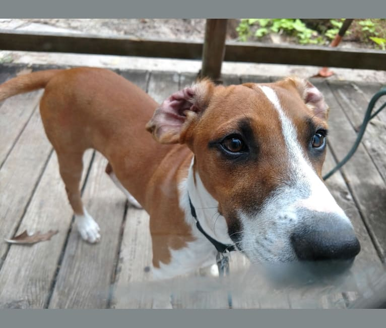 Photo of Dakota, a Rat Terrier, Russell-type Terrier, Redbone Coonhound, and Mixed mix in Houston, Texas, USA