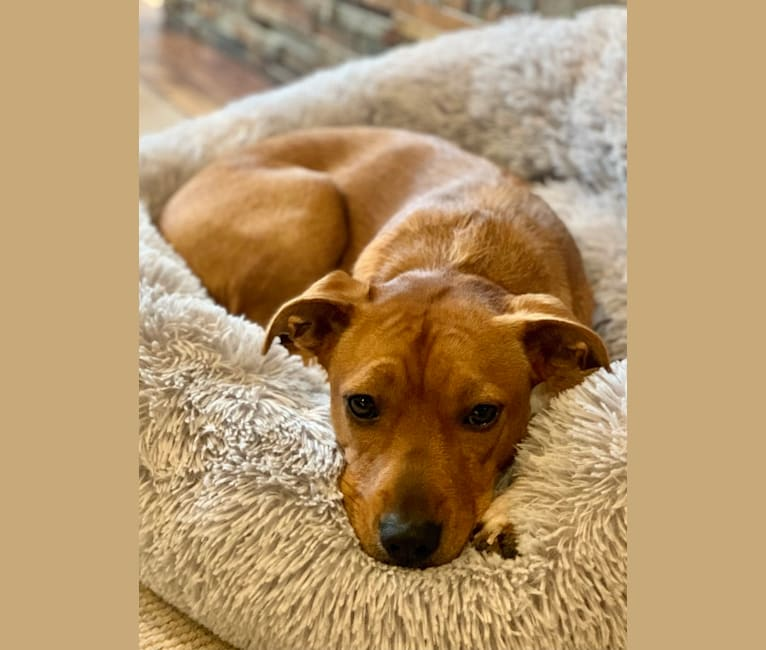 Photo of Uma, an American Bully, Australian Cattle Dog, German Shepherd Dog, Poodle (Standard), American Pit Bull Terrier, and Mixed mix in Portland, OR, USA