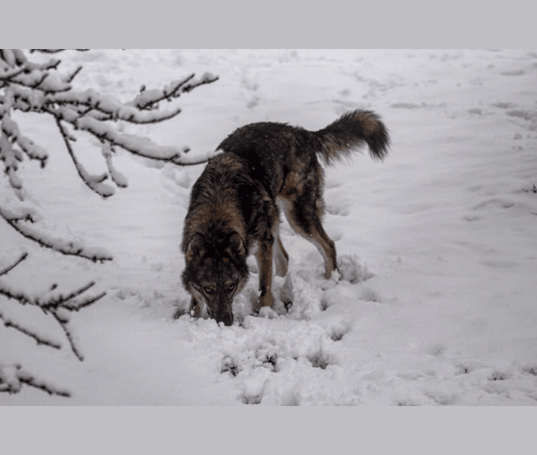 Photo of Riley, a German Shepherd Dog, Siberian Husky, and Alaskan Malamute mix in Ogden, Utah, USA