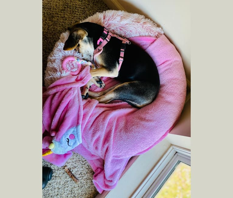 Photo of Star, a Beagle, Chihuahua, German Shepherd Dog, and Mixed mix in Indiana, USA