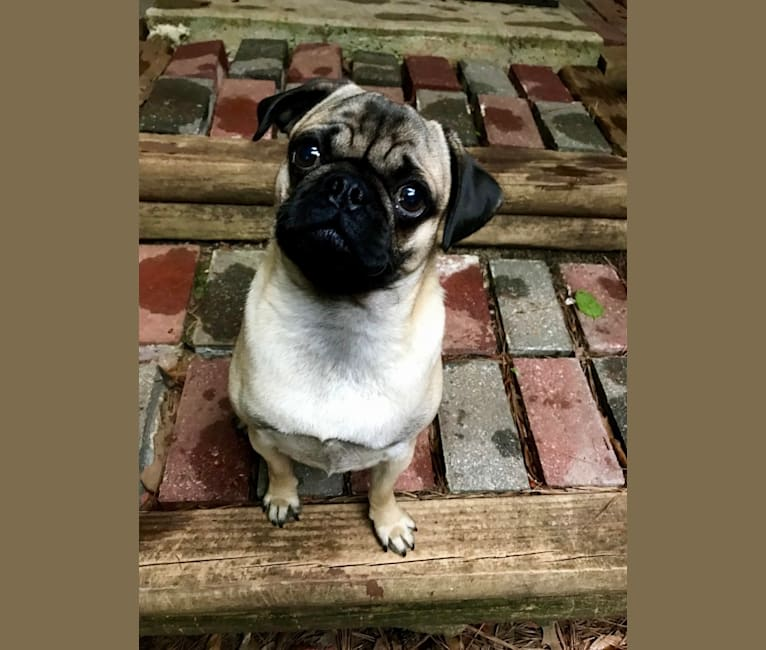 Photo of Barkley, a Pug  in Sugarcreek, OH, USA