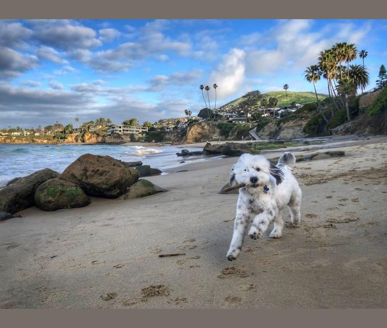 Photo of Captain, an English Springer Spaniel, Poodle (Small), Cocker Spaniel, and Mixed mix in Laguna Beach, California, USA
