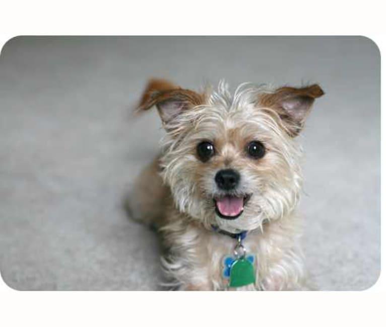 Photo of Gus, a Shih Tzu, Chihuahua, and Lhasa Apso mix