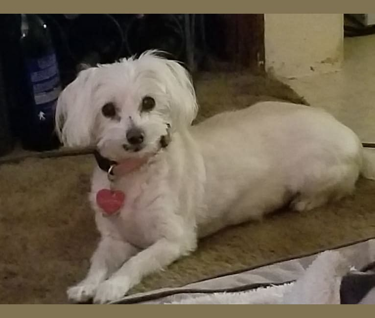 Photo of Dakota, a Poodle (Small), Maltese, Miniature Pinscher, Chihuahua, Pekingese, and Chinese Crested mix