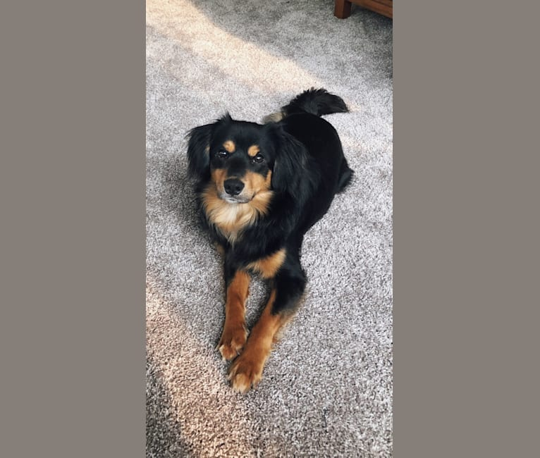 Photo of Remi, a Cocker Spaniel, Rat Terrier, and Chihuahua mix in Plymouth, Minnesota, USA