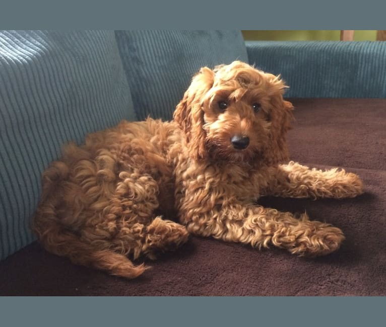 Photo of Doris, an English Cocker Spaniel (Working Type) and Poodle (Small) mix in Rochester, Verenigd Koninkrijk