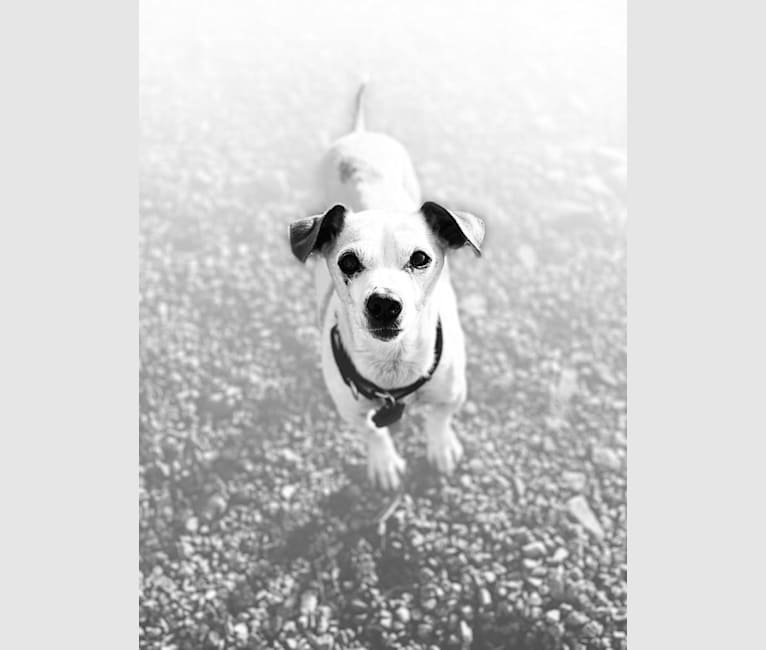 Photo of Cosmo (rescue name is Biloxi), a Chihuahua and Miniature Pinscher mix in Spokane, Washington, USA