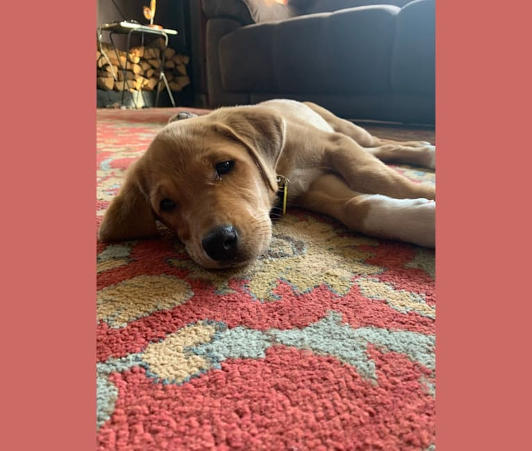Photo of Elle, a Great Pyrenees and Labrador Retriever mix in Fort Worth, Texas, USA