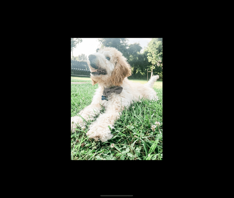 Photo of Butters, a St. Berdoodle  in Jamestown, KY, USA