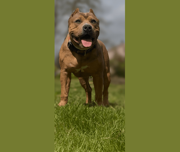 Photo of Opilio, an American Bully  in Issaquah, WA, USA