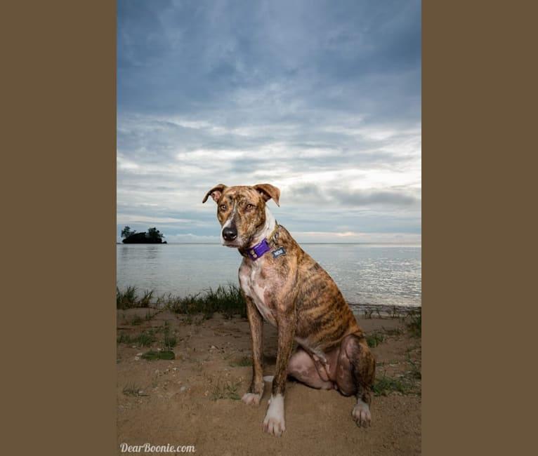 Photo of Neni, an American Pit Bull Terrier (8.6% unresolved) in Santa Rita, Guam