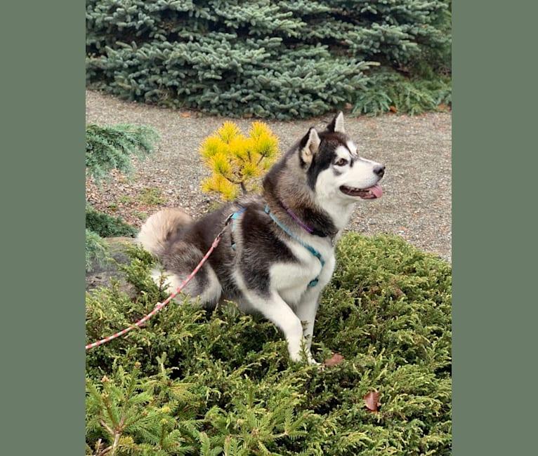 Photo of Anika, a Siberian Husky and Alaskan Malamute mix in null