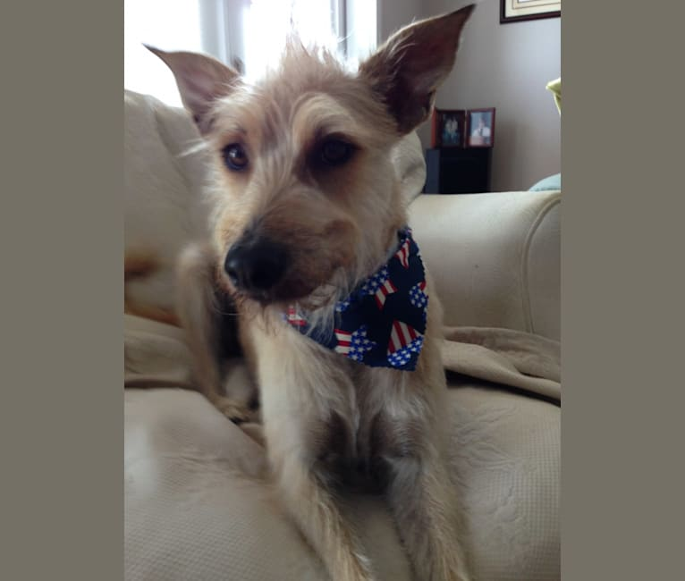 Photo of Henry, a Chinese Crested, Italian Greyhound, and American Pit Bull Terrier mix in Florida, USA