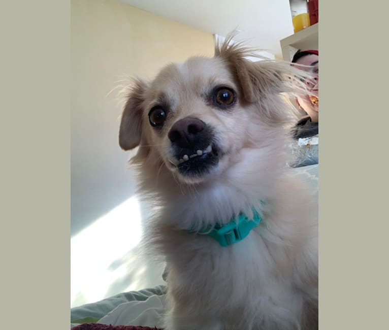 Photo of Roscoe Burgers, a Shih Tzu, Poodle (Small), Chihuahua, and Pomeranian mix in Chicopee, Massachusetts, USA