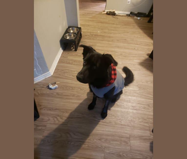 Photo of Rex, a German Shepherd Dog  in Dallas, Texas, USA
