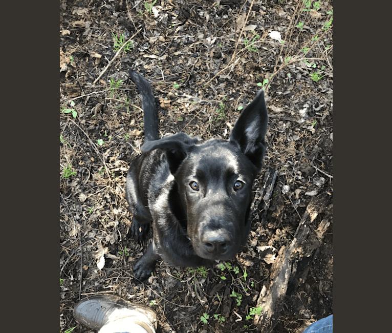 Photo of Cerberus, a Siberian Husky, Labrador Retriever, German Shepherd Dog, Chow Chow, and American Pit Bull Terrier mix in KCMO, Missouri, USA