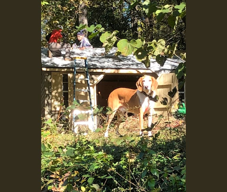 Photo of Cooper, an American Foxhound  in Charlottesville, Virginia, USA