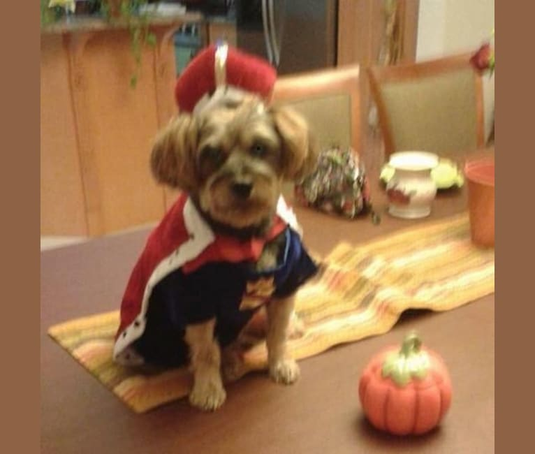 Photo of Luigi, a Yorkshire Terrier and Poodle (Small) mix in Bangor, Pennsylvania, USA